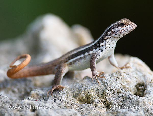 Santo Domingo Curly-tailed Lizard (Leiocephalus lunatus)