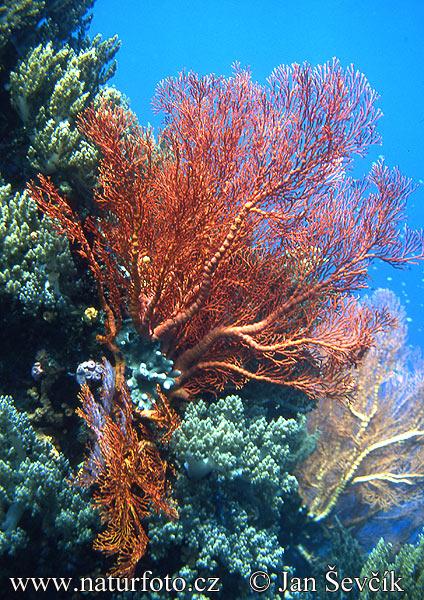 Sea Fan Pictures, Sea Fan Images NaturePhoto