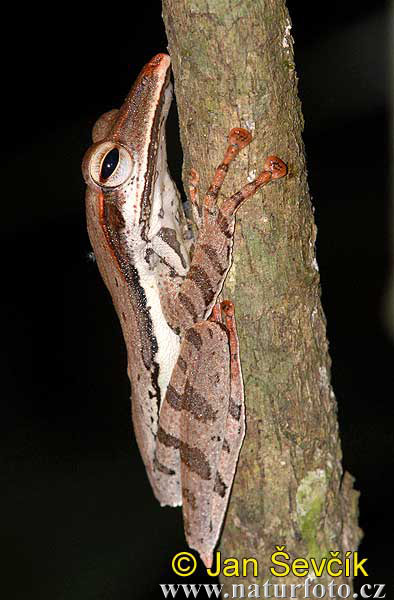 Sharp-snout Saddled Tree Frog (Polypedates longinasus)