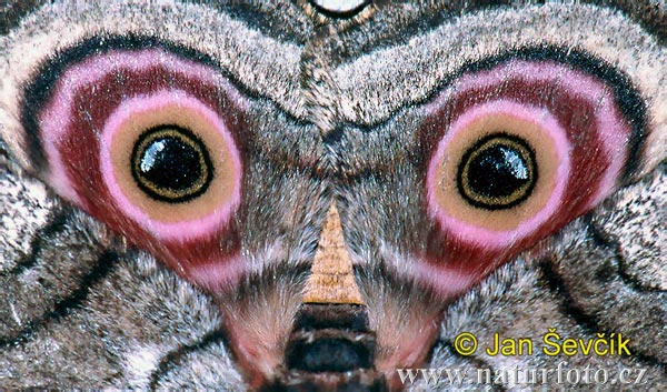 Speckled Emperor Moth