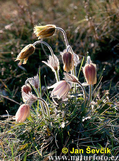 buona notte dans immagini buon...notte, giorno spring-pasque-flower--pulsatilla-vernalis