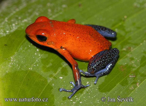 Strawberry poison Dart Frog (Dendrobates pumilio)