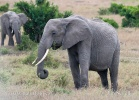 Afrikansk savanneelefant