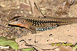 Barred Whiptail