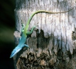 Blue headed Anole