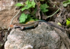 Blue-tailed Lizard