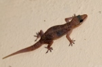 Brook's House Gecko