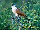 Burchell´s Coucal