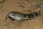Common Pond Snake