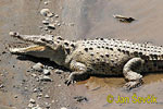 Crocodiles (Crocodylia)