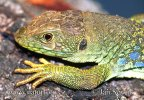 Eyed Ocellated Lizard