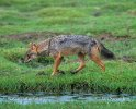 Golden Asiatic Jackal