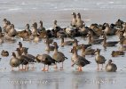 Greated White-fronted Goose