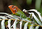 Green Forest Lizard
