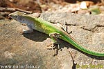 Green Rainbow Lizard
