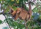 Hoffman´s two-toed sloth