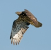 Honey Buzzard