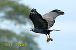 Mangrove Black -Hawk