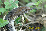 Neotropical Whip Snake