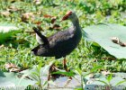Purple Coot