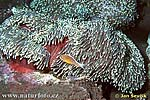 Sea Anemone with Anemonefish