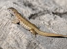 Shreibers Curly-tailed Lizard