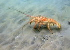Spiny Lobster