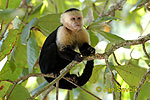 White faled Capuchin