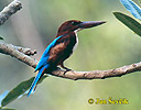White-throated Kingfisher