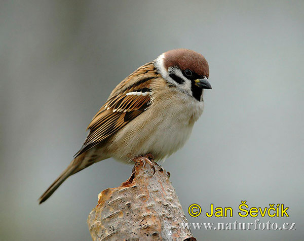 Tree Sparrow Photos, Tree Sparrow Images | Photobank NaturePhoto-