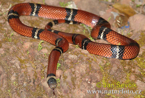 Tropical Kingsnake (Lampropeltis triangulum)