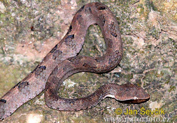 Walls Hump-nosed Pit Viper (Hypnale walli)