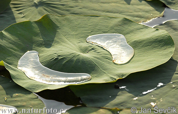 Water lily (Water lily)