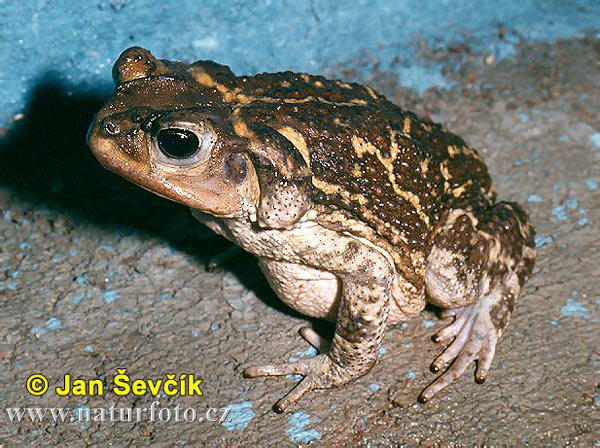 West Indian Toad (Peltophryne peltocephalus)
