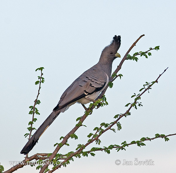 White-bellied go-away Bird (Corythaixoides leucogaster)