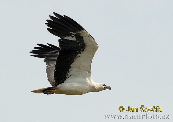 White bellied Sea Eagle (Haliaeetus leucogaster)