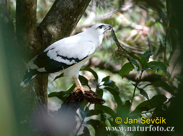 White Hawk Photos, White Hawk Images, Nature Wildlife ...