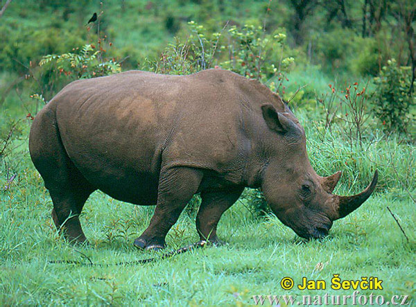 White Rhinoceros Photos, White Rhinoceros Images | Photobank ...