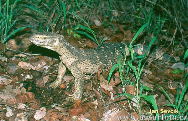 White-throated Monitor (Varanus albigularis)
