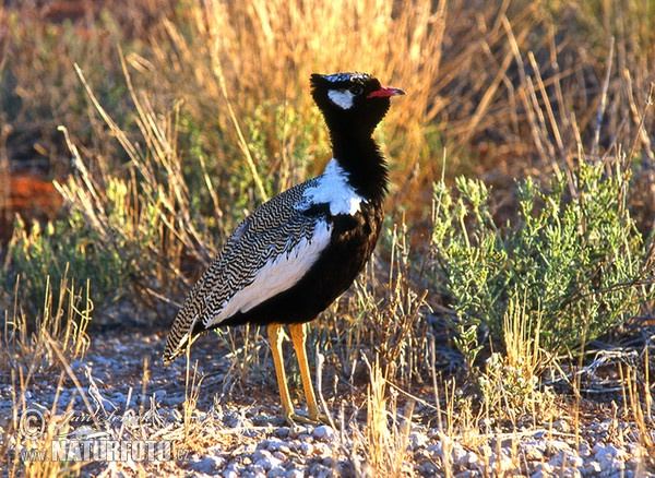 White Winged Black Korhaan (Eupodotis afraoides)