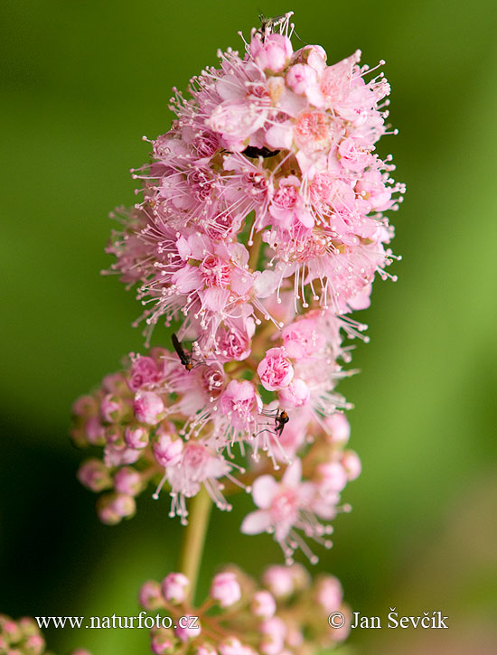 Willowleaf Meadowsweet (Spiraea salicifolia)
