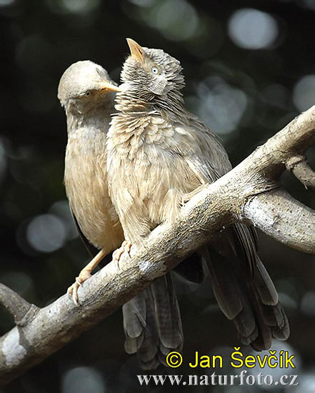 Yellow-billed Babbler (Turdoides affinis)