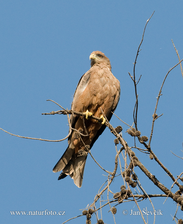 Yellow-billed Kite (Milvus migrans aegyptius)