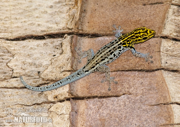 Yellow-headed Dwarf Gecko (Lygodactylus luteopicturatus)