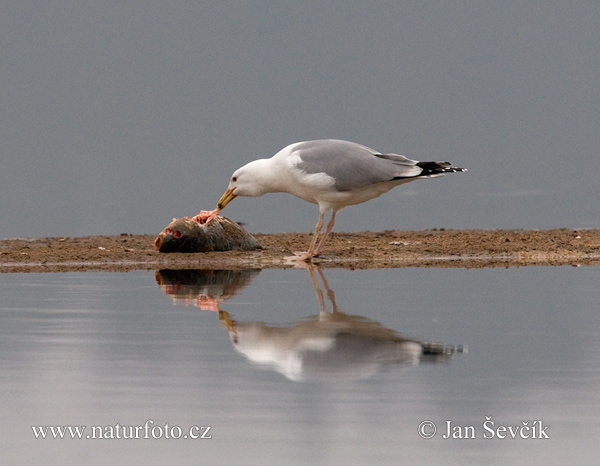 Yellow-legged Gull (Larus cachinnans)