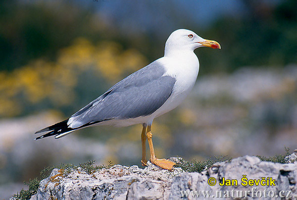 Yellow-legged Gull Photos, Yellow-legged Gull Images | Photobank ...