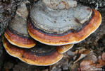 Red Banded Polypore