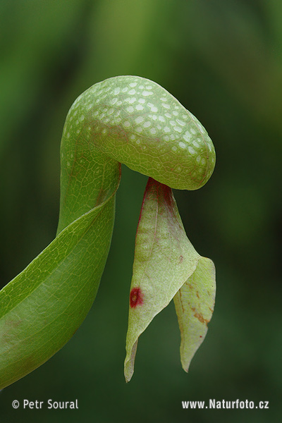 Cobra Lily - California Pitcher plant (Darlingtonia californica)