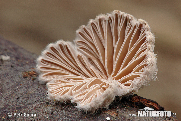 Common Porecrust Mushroom (Schizophyllum commune)
