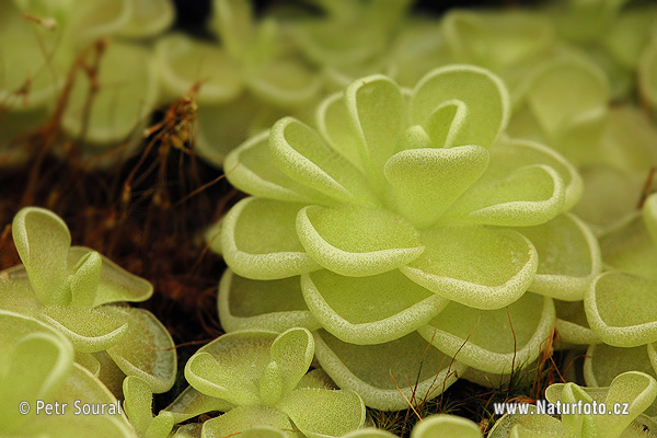 Pinguicula esseriana (Pinguicula esseriana)